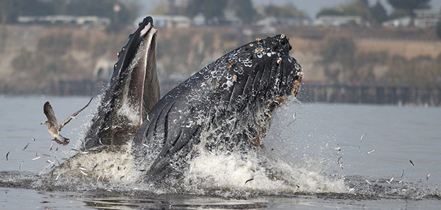 Humpback whale feeding a few paddle strokes from shore