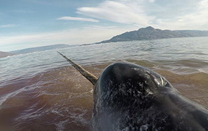 A beached narwhal whale.