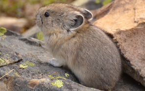 Climate change is shrinking the habitat of the pika, a relative of the rabbit.