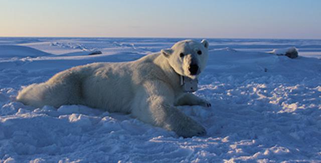 Photo of a polar bear awaiting its prey.