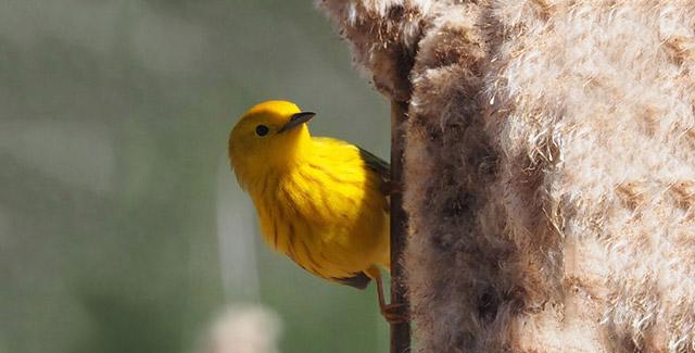 Photo of a yellow warbler bird.