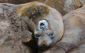 An elephant seal has a camera glued to its head.